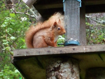 Squirrel at the bird table