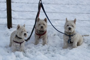 Our Westies after a roll in the Snow