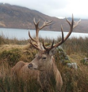 Imperial Red Deer Stag