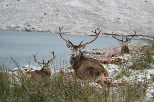 Red Deer Stags by Loch Quoich