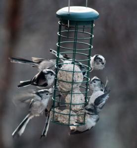 Long Tailed Tits on the garden bird feeder